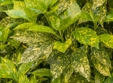Gold Dust Plant Aucuba Japonica Golden Girl Plant Goldstrike