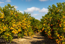 An Orange Grove In Spain In Sunny Weather With Blue Sky.
