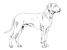 Pedigree Dog Drawn In Ink By H...