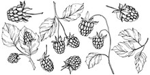 Vector Raspberry Healthy Food Isolated. Black And White Engraved Ink Art. Isolated Berries Illustration Element.