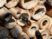 Mason Bees At An Insect Hotel