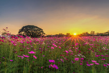 Beautiful Sunset Landscape In Pink Cosmos Flower Field At Jim Thompson Farm