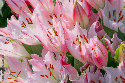 Fotografie, Obraz  A beautiful pink Lily plant in full flower in the spring sunshine