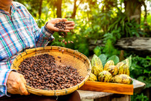Hands Holding Cocoa Beans, Aromatic Cocoa Beans As Background, Cocoa Beans And Cocoa Fruits On Wooden.