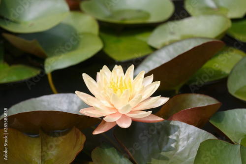 Poster de jardin Nénuphars Lotus flowers and leaves are blooming beautifully with nature.