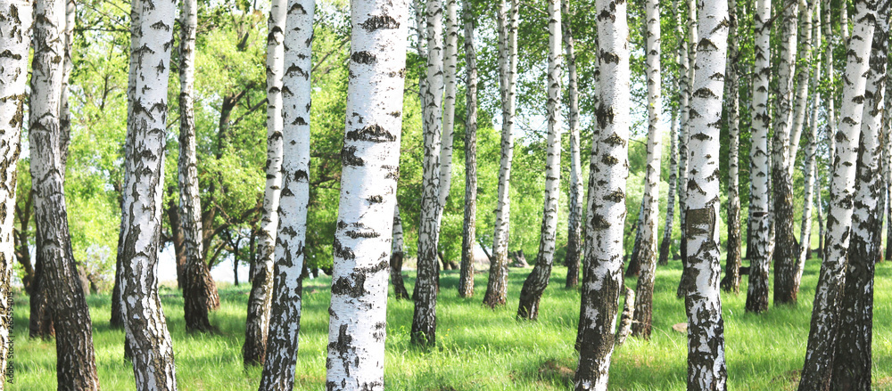 Fototapety, obrazy: Young birch with black and white birch bark in spring in birch grove against the background of other birches