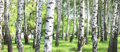 Photo sur Aluminium Gris Young birch with black and white birch bark in spring in birch grove against the background of other birches