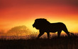 canvas print picture - African landscape at sunset with silhouette of a big adult lion