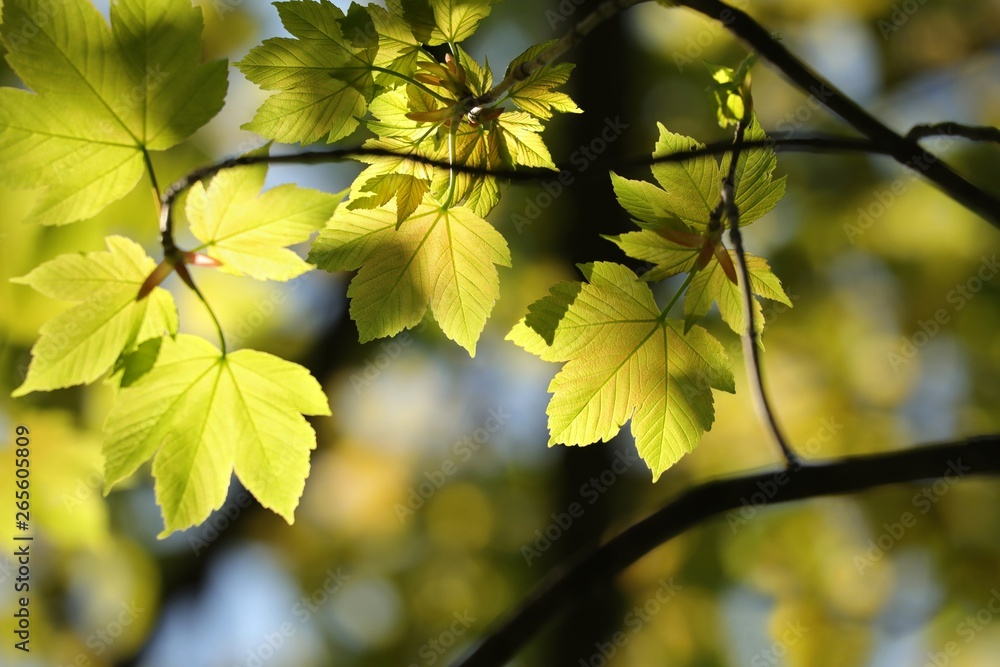 Fototapety, obrazy: Sycamore maple leaves in the forest on a sunny spring morning
