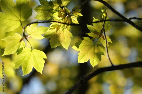 Foto Sycamore maple leaves in the forest on a sunny spring morning