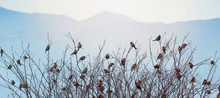 Sparrows On The Branches Of Trees. Many Birds In The Trees. Birds On A Background Of Mountains. Background With Birds And Mountains