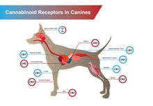 Cannabinoid Receptors In Canin...