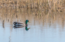 Mallard Duck Swimming In A Wetland Lake In Spring In Latvia
