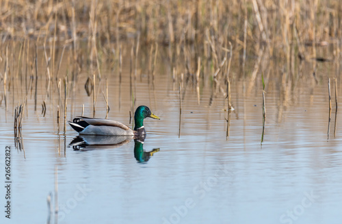 Fotografía Mallard Duck Swimming in a Wetland Lake in Spring in Latvia