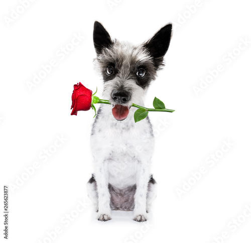 In de dag Crazy dog valentines dog with rose