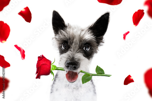 Papiers peints Chien de Crazy valentines dog with rose