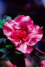 Macro Shot Of Pink Flower Blos...