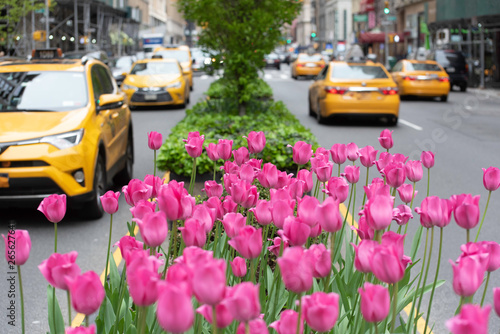 Photo sur Aluminium New York TAXI Pink tulips in bloom along Park Avenue in Manhattan.