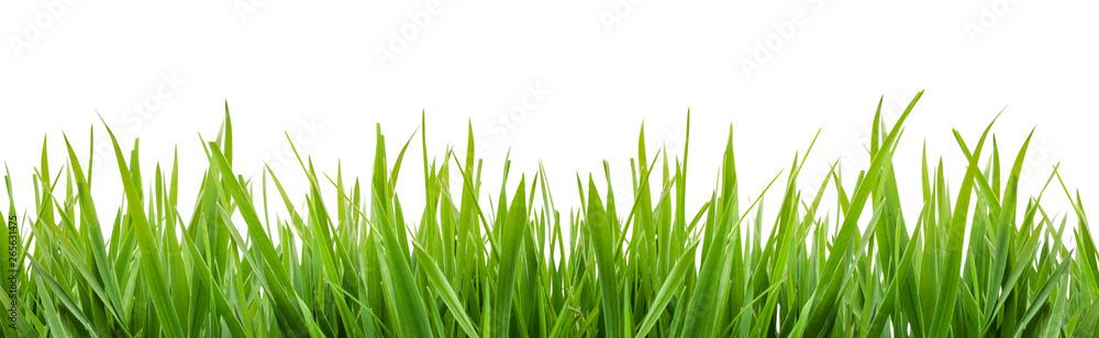 Fototapeta green grass isolated