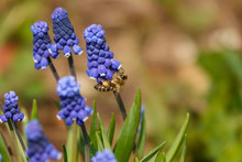 Common Grape Hyacinth Muscari Botryoides In Full Bloom.