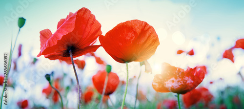 Obraz Wild poppy flowers on blue sky background. - fototapety do salonu