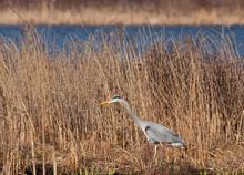 Blue Heron Walking In The Reeds