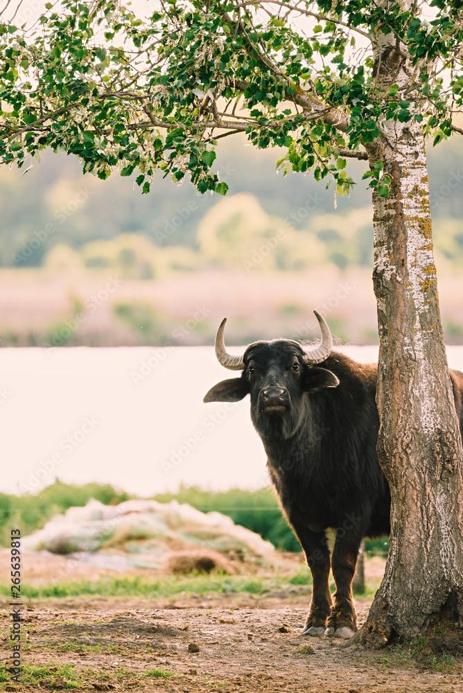 Fototapeta Photo of a big buffalo