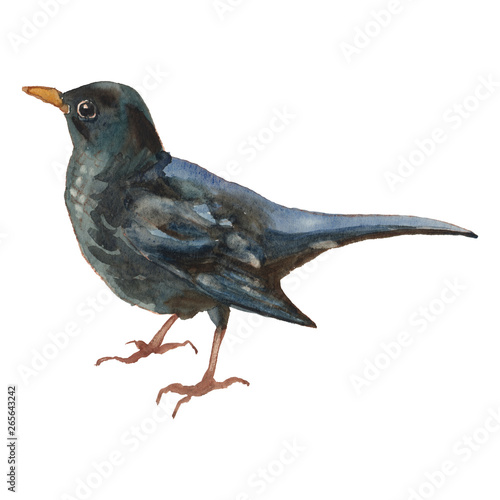 Photo The common blackbird. Watercolor hand painted drawing of bird.
