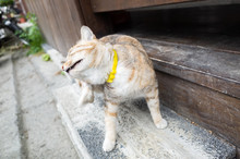 Domestic Tabby Cat Itching