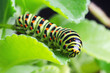 canvas print picture - Caterpillar of the Machaon crawling on green leaves, close-up