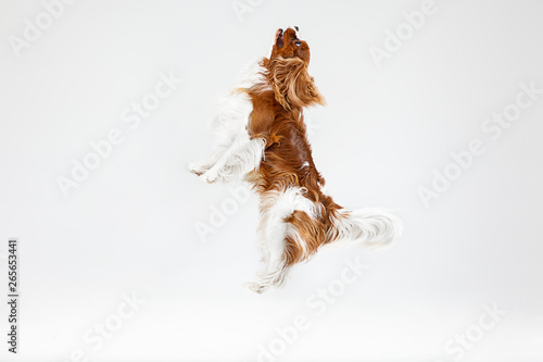 Canvas Print Spaniel puppy playing in studio