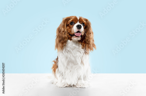 Obraz Spaniel puppy playing in studio. Cute doggy or pet is sitting isolated on blue background. The Cavalier King Charles. Negative space to insert your text or image. Concept of movement, animal rights. - fototapety do salonu