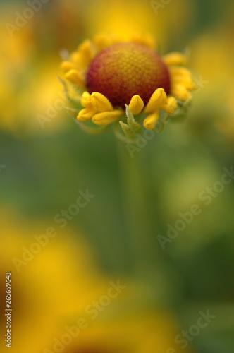Recess Fitting Narcissus Detailaufnahme einer gelbblühenden Sonnenbraut Helenium