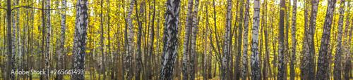 La pose en embrasure Bosquet de bouleaux panorama of birch grove in the park