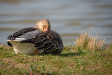 Greylag Goose Sleeping
