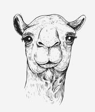 Sketch Of A Camel. Hand Drawn ...