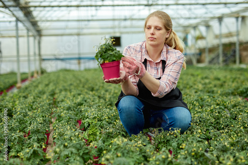 Woman gardener working with tomato seedlings in greenhouse Canvas Print