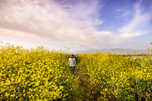 Unidentified Person Walking On A Path Lined Up With Black Mustard (Brassica Nigra) Wildflowers, San Jose, San Francisco Bay Area, California