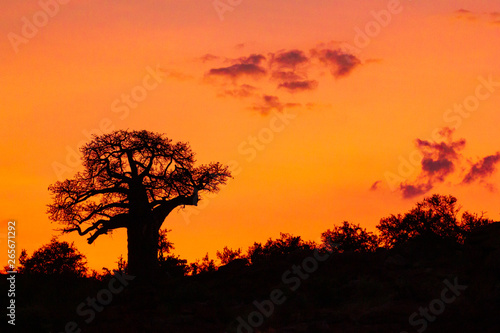 Photographie silhouette of a baobab tree in sunset on hill with clouds
