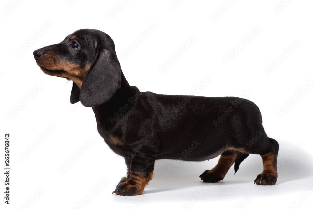 Fototapety, obrazy: The Dachshund puppy stands sideways on a white background.