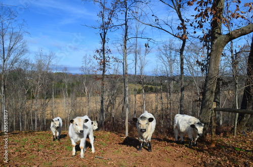 Stickers pour portes Panda English White Cows on Rural Farm in Fall