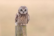 Short-eared Owl (Asio Flammeus) Sitting On Old Fence Post, Lauwersmeer National Park, Holland, The Netherlands, Europe