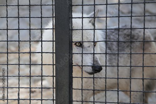 Fotografia lonely sad wolf in zoo, in a cage.