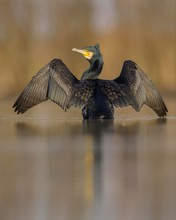 Cormorant (Phalacrocorax Carbo), Adult In Winter Plumage Standing In Water With Outstretched Wings, Drying His Feathers, Kiskunsag National Park, Hungary, Europe