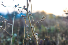 Dried Weeds Yellowed Autumn Mo...