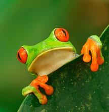 Red-eyed Tree Frog (Agalychnis...