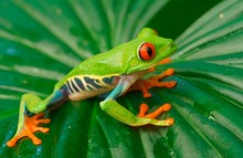 Red-eyed Tree Frog (Agalychnis Callidryas) Sits On Leaf, Costa Rica, Central America