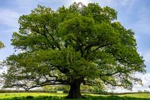 Oak Tree Under The Sun