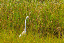A White Snowy Egret In Wetland Grasses