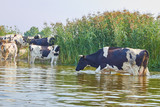 Fototapeta Łazienka - Cows are cooling in the river